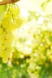 Close-up van druivenbos Royalty-vrije Stock Fotografie