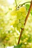 Close-up van druivenbos Royalty-vrije Stock Afbeeldingen