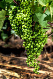 Close-up van druivencluster op wijnstok Vranec in beginstadium Royalty-vrije Stock Afbeelding