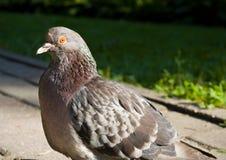 Close-up van duif royalty-vrije stock afbeeldingen