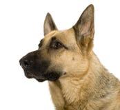 Close-up van Duitse herder, 9 jaar oud stock afbeeldingen