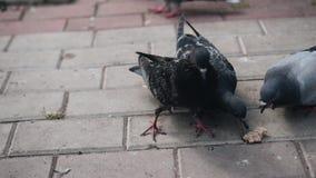 Close-up van duiven die brood in het stadspark eten De mensen verlokken vogels stock videobeelden