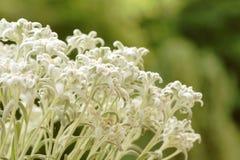 Close-up van edelweissbloemen tegen vage groene achtergrond Stock Afbeeldingen