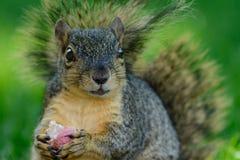 Close-up van eekhoorn die een radijs houden stock fotografie