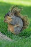 Close-up van eekhoorn die een radijs zijprofiel houden royalty-vrije stock afbeelding