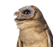 Close-up van een askleurig-Onder ogen gezien uil (Tyto glaucops) stock foto