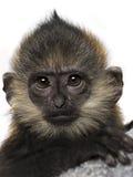 Close-up van een baby Francois Langur (4 maanden) royalty-vrije stock afbeeldingen