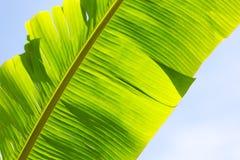 Close-up van een banaanblad Greens in de hemel Royalty-vrije Stock Afbeeldingen