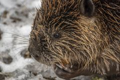 Close-up van een Bever wordt geschoten die royalty-vrije stock foto