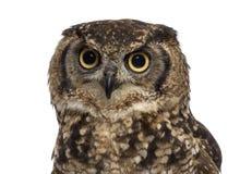 Close-up van een Bevlekte Eagle-uil - Bubo-africanus stock afbeeldingen