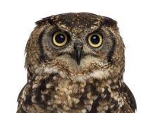 Close-up van een Bevlekte Eagle-uil - Bubo-africanus stock afbeelding