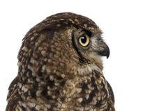Close-up van een Bevlekte Eagle-uil - Bubo-africanus royalty-vrije stock afbeeldingen