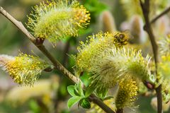 Close-up van een bij die aan een gele bloem werken Royalty-vrije Stock Afbeelding