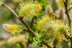 Close-up van een bij die aan een gele bloem werken Royalty-vrije Stock Foto