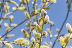 Close-up van een bij die aan een gele bloem werken Royalty-vrije Stock Foto's