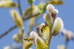 Close-up van een bij die aan een gele bloem werken Royalty-vrije Stock Fotografie