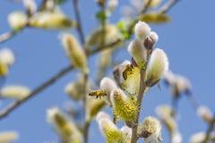 Close-up van een bij die aan een gele bloem werken Stock Foto's