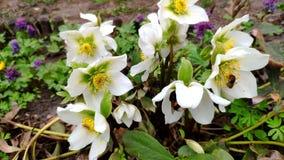 Close-up van een bij die grote bloemen van de witte anemoon op een zonnige de lentedag bestuiven in een lichte wind stock videobeelden