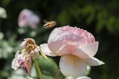 Close-up van een bij die naast een roze bloem vliegen Royalty-vrije Stock Fotografie