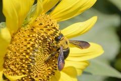 Close-up van een bij op een zonnebloem Stock Afbeelding