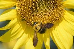 Close-up van een bij op een zonnebloem Stock Foto