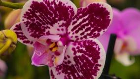 Close-up van een bloeiende orchidee Bloeiende orchidee dicht omhoog Dichte omhooggaande, mooie de orchidee dichte omhooggaand van stock videobeelden