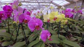 Close-up van een bloeiende orchidee Bloeiende orchidee dicht omhoog Dichte omhooggaande, mooie de orchidee dichte omhooggaand van stock footage
