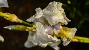Close-up van een bloem van gebaarde germanica van de irisiris op vage groene natuurlijke achtergrond Iridarius Groetkaart met de  royalty-vrije stock afbeeldingen