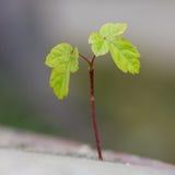 Close-up van een boomspruit Royalty-vrije Stock Afbeeldingen
