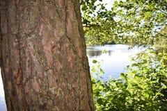 Close-up van een boomstam van de pijnboomboom stock fotografie