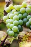 Close-up van een bos van druiven Stock Afbeeldingen