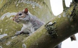 Close-up van een Britse grijze eekhoorn gezien rustend op een grote boom in een bosopheldering royalty-vrije stock fotografie