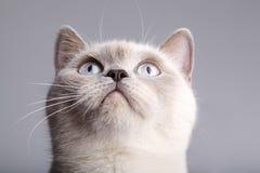 Close-up van een Britse korte haarkat Stock Foto's