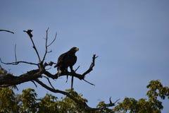 Close-up van een bruine adelaarszitting op een boom in een bos in Duitsland stock foto's