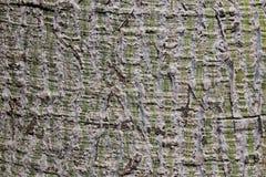 Close-up van een bruine boomschors van een palm met groen verticaal gestreept patroon Kan als achtergrondtextuur worden gebruikt stock afbeelding