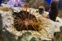 Close-up van een bruine en witte zeeanemoon van de buiswoning, een populair aquariumhuisdier in aquicultuur stock afbeelding