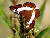 Close-up van een Bruine gekleurde vlinder Royalty-vrije Stock Afbeeldingen