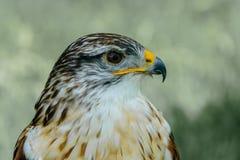 Close-up van een Butea Regalis - Ijzerhoudende Havik Royalty-vrije Stock Foto's