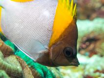 Close-up van een butterflyfish Stock Afbeeldingen
