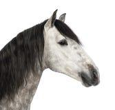 Close-up van een $c-andalusisch hoofd, 7 jaar oud, dat ook als het Zuivere Spaanse Paard wordt bekend of PRE Royalty-vrije Stock Fotografie
