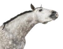 Close-up van een $c-andalusisch hoofd dat, 7 jaar oud, zijn hals uitrekt, die ook als het Zuivere Spaanse Paard wordt bekend of PR Stock Afbeelding
