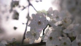 Close-up van een Cherry Plum-boom bloemen en zonglans 4k, langzame motie stock videobeelden