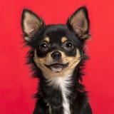 Close-up van een Chihuahua Stock Afbeeldingen
