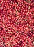 Close-up van een cluster van redcurrants Stock Afbeelding