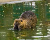 Close-up van een coypu die door het water, een semi aquatisch knaagdier van Zuid-Amerika lopen royalty-vrije stock fotografie