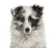 Close-up van een de Herdershondpuppy van Shetland royalty-vrije stock foto