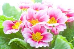Close-up van een de lente roze bloem royalty-vrije stock afbeelding