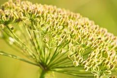 Close-up van een decoratieve berginstallatie op een zonnige dag, Zlot-berg Royalty-vrije Stock Foto's