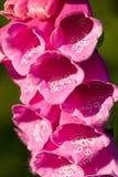 Close-up van een digitalisbloem royalty-vrije stock foto