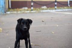 Close-up van een enge zwarte hond Stock Foto's
